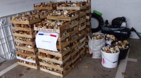 Vosges : une cueillette de 400 kg de champignons saisie par les gendarmes