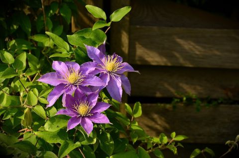 Clematite - photo d'illustration