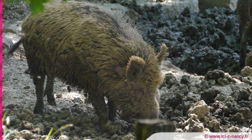 Peste porcine en Belgique : la préfecture prend des mesures en Meurthe-et-Moselle