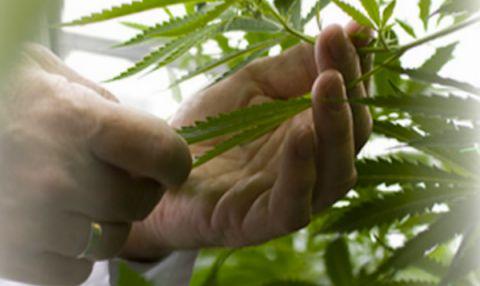 Seichamps : saisie de 18 plants de cannabis dans un pavillon