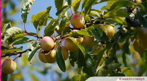 Cueillette de fruits en Meurthe-et-Moselle : des centaines de postes à pourvoir cet été !