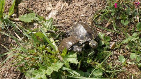 Vidéo. Le Parc Sainte Croix relâche 200 tortues d'Europe